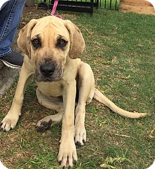 Mastiff/Catahoula Leopard Dog Mix Puppy for adoption in Killeen, Texas - Annie