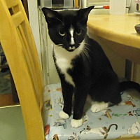Domestic Shorthair Cat for adoption in Dale City, Virginia - Milo