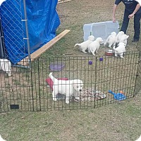 Adopt A Pet :: South Park Litter - Kyle, TX