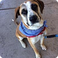 Adopt A Pet :: Chumlee - Iowa Park, TX