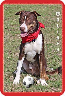 Boxer/Husky Mix Dog for adoption in Hillsboro, Texas - Goliath