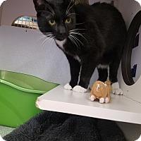 Adopt A Pet :: Charlie 2 (front declawed) - Warren, MI