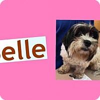 Adopt A Pet :: BELLE - Plano, TX