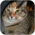 Domestic Shorthair Kitten for adoption in Ottawa, Ontario - Paloma