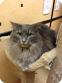 Maine Coon Cat for adoption in Monroe, Georgia - Timothy