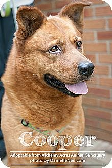 American Pit Bull Terrier/German Shepherd Dog Mix Dog for adoption in Salem, Ohio - Cooper III