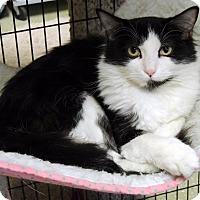 Domestic Longhair Cat for adoption in Roanoke, Texas - Rita