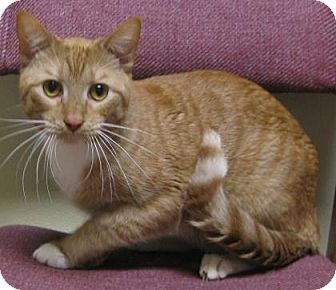 Domestic Shorthair Cat for adoption in Gary, Indiana - Sherbert
