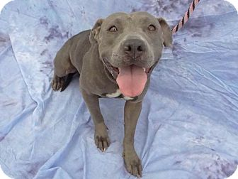Pit Bull Terrier Mix Dog for adoption in Hawthorne, California - Ophelia