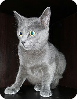 Russian Blue Cat for adoption in Albemarle, North Carolina - Grace