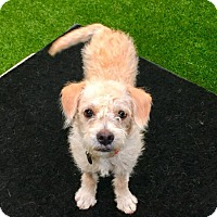 Terrier (Unknown Type, Medium) Mix Puppy for adoption in Sun Valley, California - AIDEN