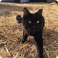Adopt A Pet :: Sylvester - BARN CAT - Sparta, NJ