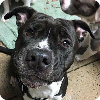 Pit Bull Terrier Mix Dog for adoption in Pottsville, Pennsylvania - Abbie