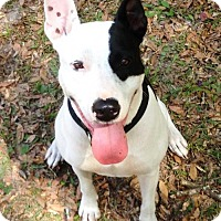 Adopt A Pet :: AVI-Emotional Support Animal - DeLand, FL