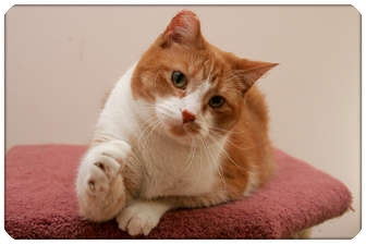 Domestic Shorthair Cat for adoption in Sterling Heights, Michigan - Barney - ADOPTED!