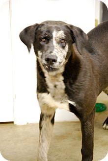 Blue Heeler/Labrador Retriever Mix Dog for adoption in Cranford, New Jersey - Joker