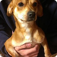 Beagle/Dachshund Mix Dog for adoption in Snellville, Georgia - SAM