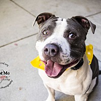 American Staffordshire Terrier/Pit Bull Terrier Mix Dog for adoption in Mooresville, North Carolina - Baxter