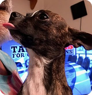 Chihuahua Mix Dog for adoption in ST LOUIS, Missouri - ITTYBIT