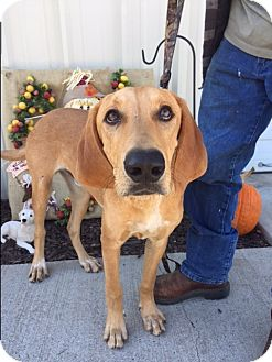 Hound (Unknown Type)/Retriever (Unknown Type) Mix Dog for adoption in Boonsboro, Maryland - Copper