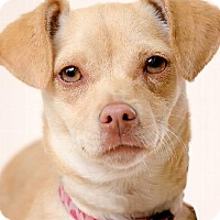 Chihuahua/Terrier (Unknown Type, Medium) Mix Dog for adoption in Pt. Richmond, California - BAILEY