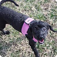 Adopt A Pet :: Pyper - Henderson, NV