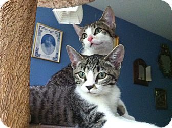 Domestic Shorthair Kitten for adoption in Chicago, Illinois - Jelly Bean