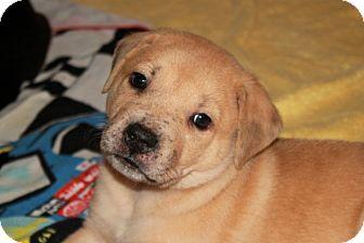 Labrador Retriever/Bulldog Mix Puppy for adoption in Marietta, Georgia - Mowgli
