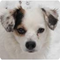 Adopt A Pet :: Cookie - Beachwood, OH