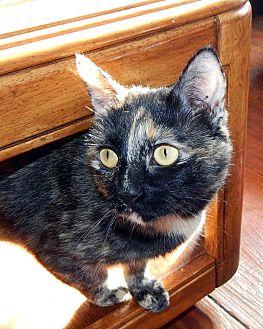 Domestic Shorthair Cat for adoption in Boston, Massachusetts - Liesel