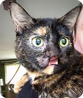 Domestic Shorthair Cat for adoption in Cheltenham, Pennsylvania - Fizzgig