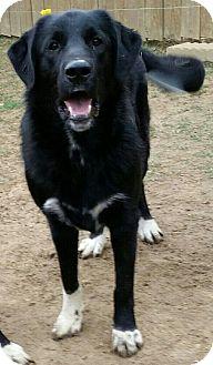 Flat-Coated Retriever/Labrador Retriever Mix Dog for adoption in Byhalia, Mississippi - Samson