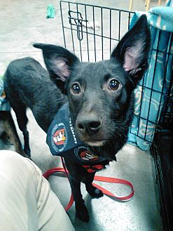 Rat Terrier/Shepherd (Unknown Type) Mix Puppy for adoption in Palm Harbor, Florida - Bagheera