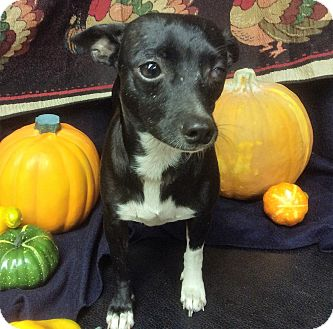 Chihuahua Mix Dog for adoption in Tavares, Florida - Sissie
