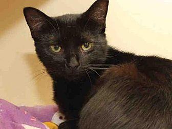 Domestic Mediumhair Cat for adoption in Pittsburgh, Pennsylvania - SABRINA
