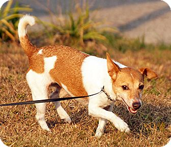 Jack Russell Terrier/Terrier (Unknown Type, Small) Mix Dog for adoption in Maynardville, Tennessee - Cici