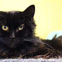 Domestic Longhair Cat for adoption in Pittsburg, Kansas - Sunnie