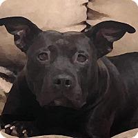 Pit Bull Terrier Mix Dog for adoption in Salem, Oregon - Starlight