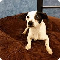Adopt A Pet :: Roger - Saddle Brook, NJ