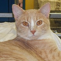 Domestic Shorthair Cat for adoption in Holden, Missouri - Cullen