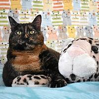 Domestic Shorthair Cat for adoption in Pine Bush, New York - Vera
