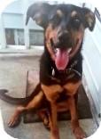German Shepherd Dog/Rottweiler Mix Dog for adoption in Northumberland, Ontario - zelda