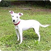 Adopt A Pet :: Snowy - Mocksville, NC
