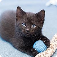 Adopt A Pet :: Weston - Chicago, IL