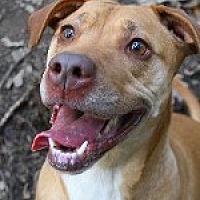 Vizsla/Rhodesian Ridgeback Mix Dog for adoption in Pt. Richmond, California - IVY