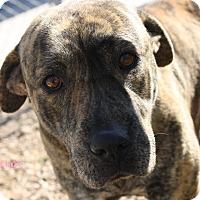 Mastiff Mix Dog for adoption in San Antonio, Texas - Blaze