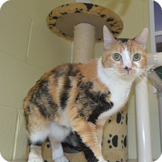 Domestic Shorthair Cat for adoption in Wheaton, Illinois - Thumbelina