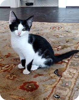 Domestic Shorthair Cat for adoption in Shelbyville, Kentucky - Chessie