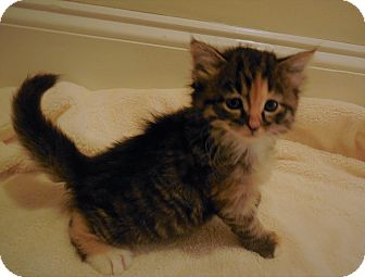 Domestic Longhair Kitten for adoption in Burgaw, North Carolina - Tabatha