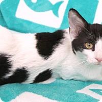 Adopt A Pet :: Vivaldi - St Louis, MO
